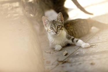 sardinian cat by gestiefeltekatze