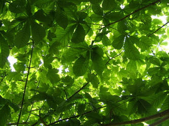 Horse Chestnut Leaves by Tamakin-stock