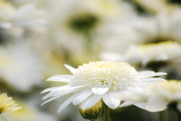 2 novembre 2010 dans ☻☻ immagini buona notte, buon giorno e....♥ White_Softness_by_TheRuberry