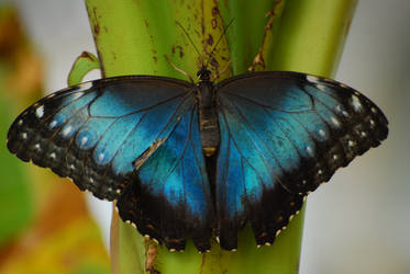Blue butterfly by TheRuberry