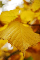 Autumn leaf color by TheRuberry
