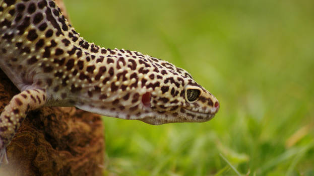 Leopard Gecko I