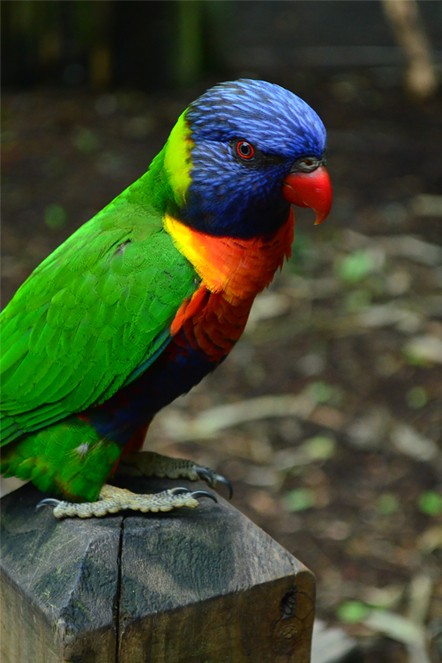 Lorikeet by PSauburnchick12