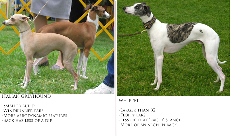 whippet greyhound cross.