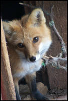 Peeking Fox by Keimoni