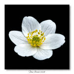 Anemone nemorosa by Heremod