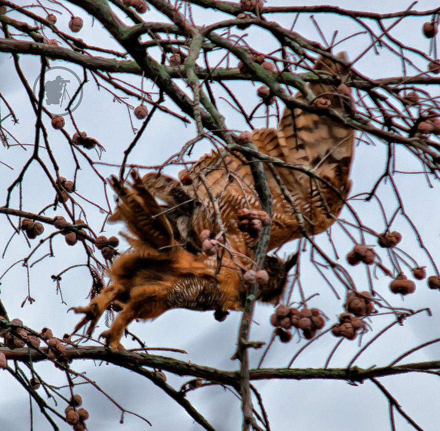 Great horned owl taking off - photo#7