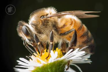 Honey Bee by DARRYL-SMITH