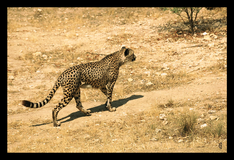 Cheetah by citrina