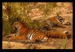Tiger nap