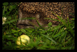 A Hedgehog and his Apple by citrina