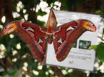 Attacus atlas Atlasspinner