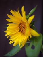 sunflower makro by CeaSanddorn
