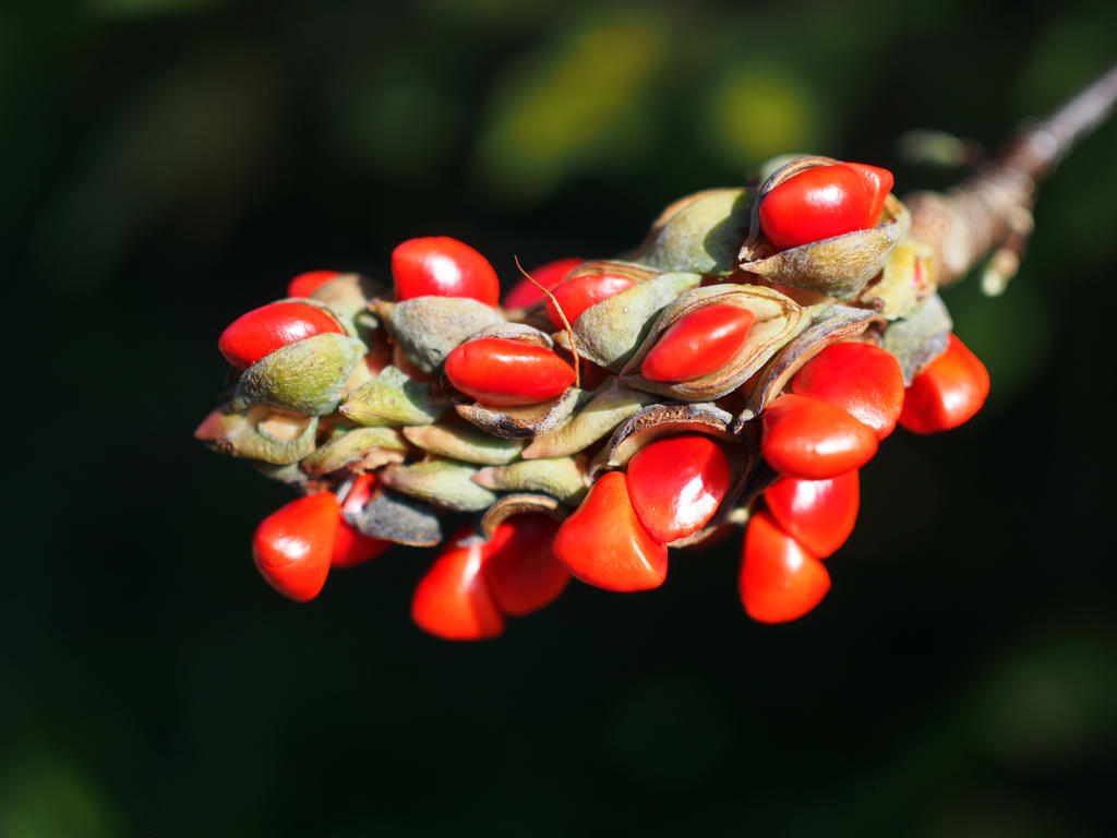Magnolia seeds by CeaSanddorn