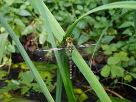 dragonfly newborn by CeaSanddorn
