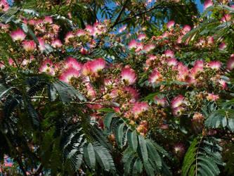 Seidenbaum pink silk tree