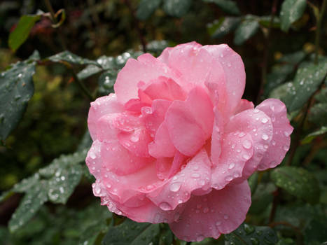 Rose in the rain light pink