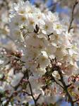 Sakura by MissNysha