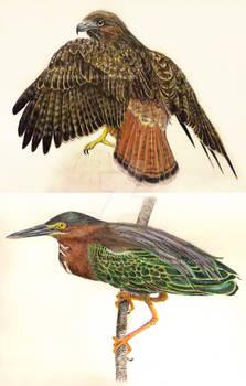 Hawk and Heron Studies