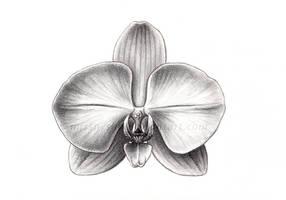 Sci Illust. 3: Phalaenopsis sp