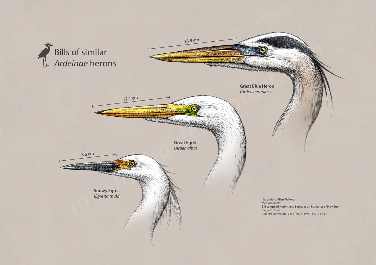 Ardeidae heron heads