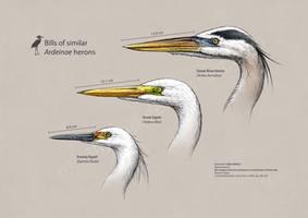 Ardeidae heron heads by MissNysha