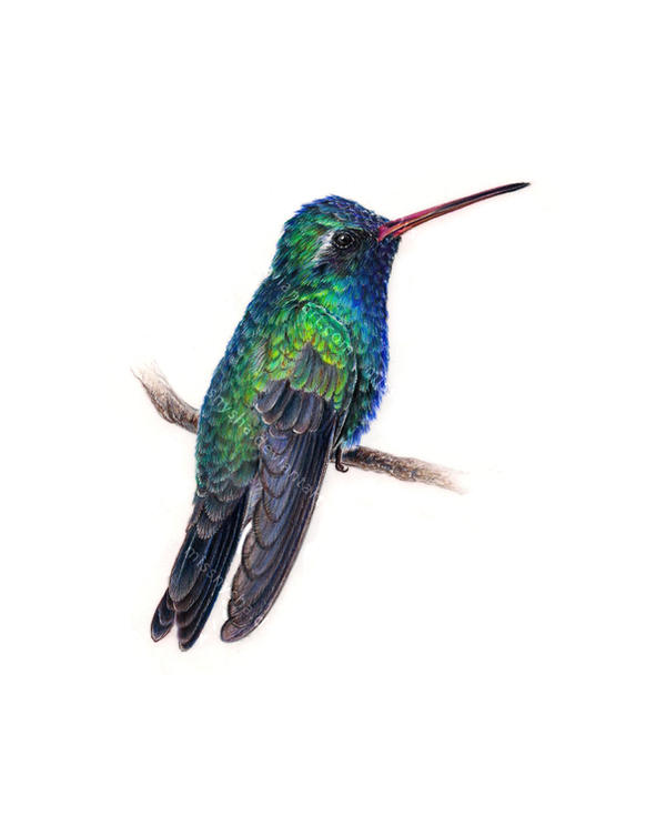 Broad-billed hummingbird by MissNysha
