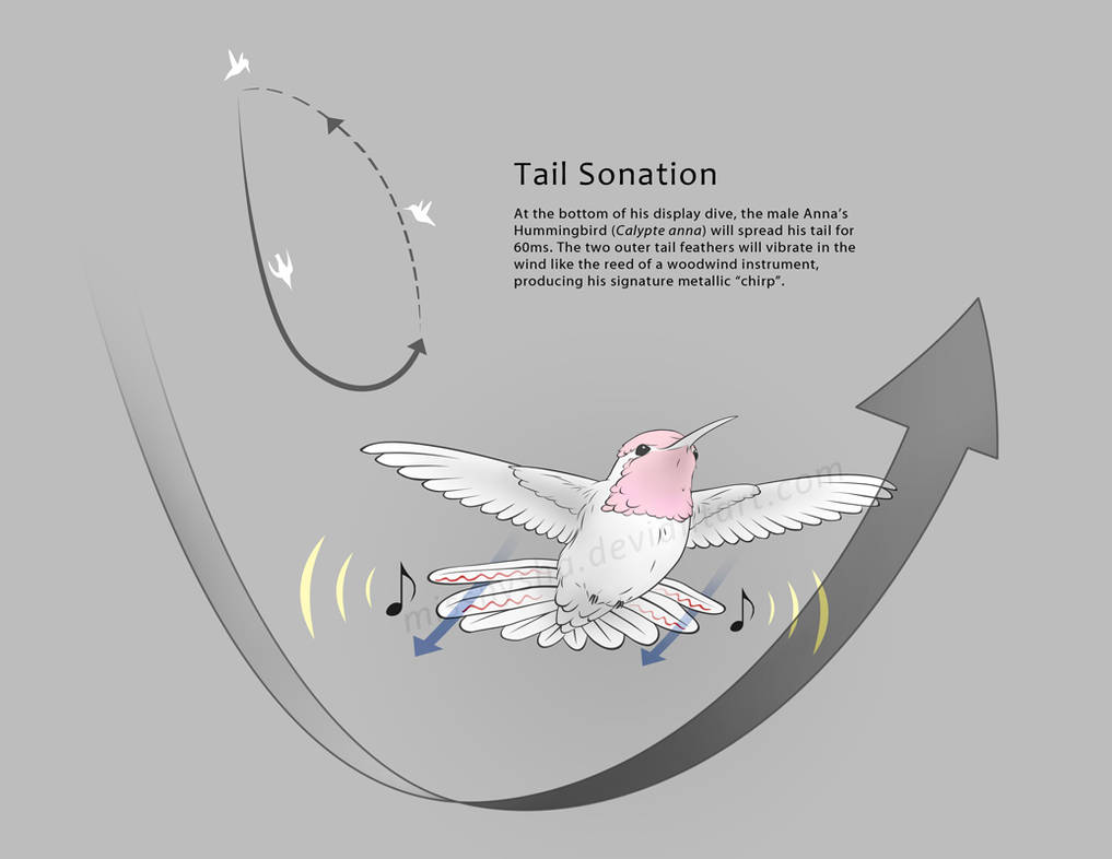Anna's Hummingbird Tail Sonation by MissNysha