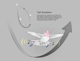 Anna's Hummingbird Tail Sonation