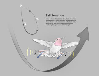 Anna's Hummingbird Tail Sonation