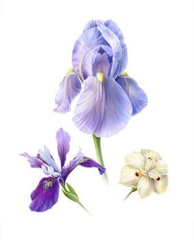 Iris Varieties of Monterey
