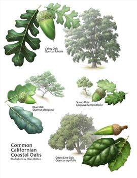 Common Coastal Oaks