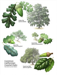 Common Coastal Oaks