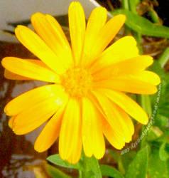 Yellow Daisy 01 by CosmicSilver