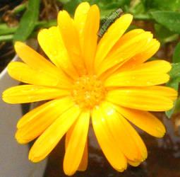 Yellow Daisy 02 by CosmicSilver