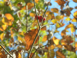 Red Berries of Fall