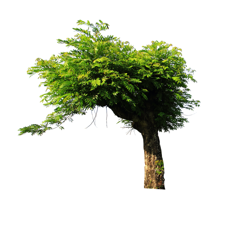 a description of the huge dark green trees Description live oak quercus virginiana extremely hardy shade tree that keeps its leaves all year dense dark green foliage provides lots of shade with minimal clean-up.