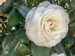 White Camellia - Edit