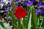 Sprenger's Tulip