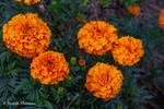 French Marigold - Said Google Images