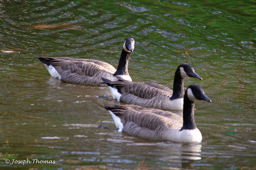 Three Geese disguised as ducks.  Damned Foreigners