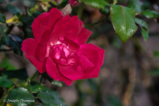 A Really Red Rose