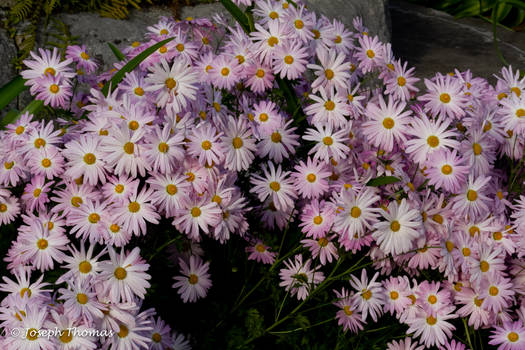 A Cluster of Chrysanthemums -- Or Not