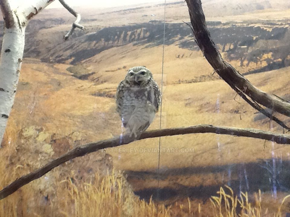 Burrowing Owl was not Burrowing... by katterley