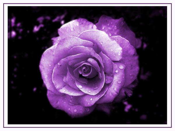 Purple Spirit Passion Rose by GramMoo