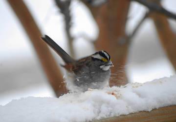 Hungry Snow Bird