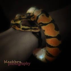 Snake by blackbox-fx
