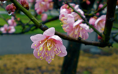 Apricot Blossom by Lil-Moony