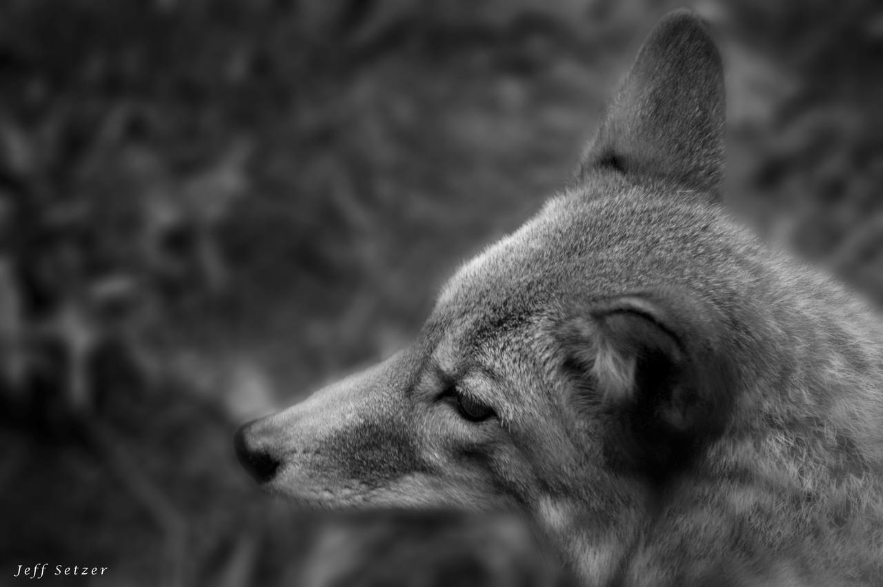 Black and White Coyote by Sudak