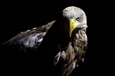 Eagle by Gomer08